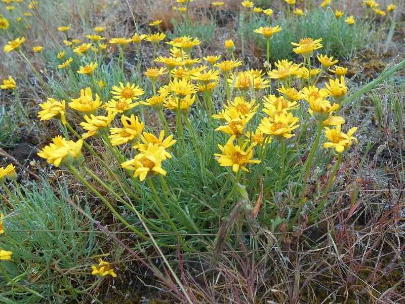 desert yellow fleabane - Erigeron linearis (ERLI)