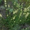 yellow penstemon - Penstemon confertus (PECO6)