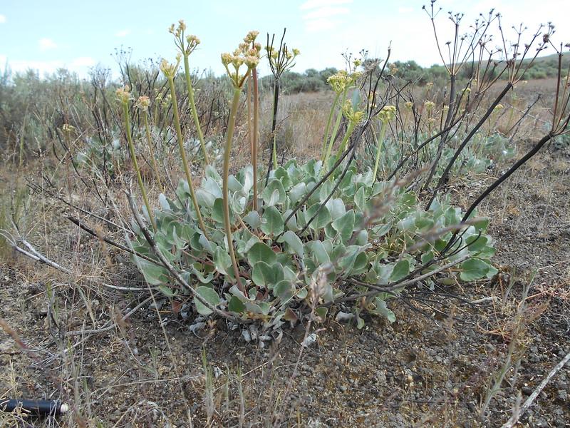 arrowleaf buckwheat - Eriogonum compositum (ERCO12)