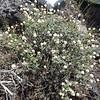 Thymeleaf buckwheat - Eriogonum thymoides (ERTH4)