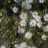 longleaf fleabane - Erigeron corymbosus (ERCO5)