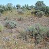 twolobe larkspur -  Delphinium nuttallianum (DENU2)
