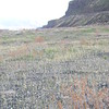 Snow buckwheat - Eriogonum niveum (ERNI2)