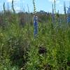Larkspur - Delphinium × burkei (DEBU)