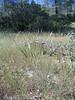 Big squirreltail - Elymus multisetus (ELMU3)