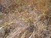 Ithuriel's spear - Triteleia laxa (TRLA16)