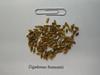 Fremont's deathcamas - Zigadenus fremontii (ZIFR)