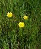 California buttercup - Ranunculus californicus (RACA2)