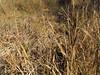 Beaked sedge - Carex rostrata (CARO6)