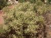 Apache Plume - Fallugia paradoxa (FAPA)