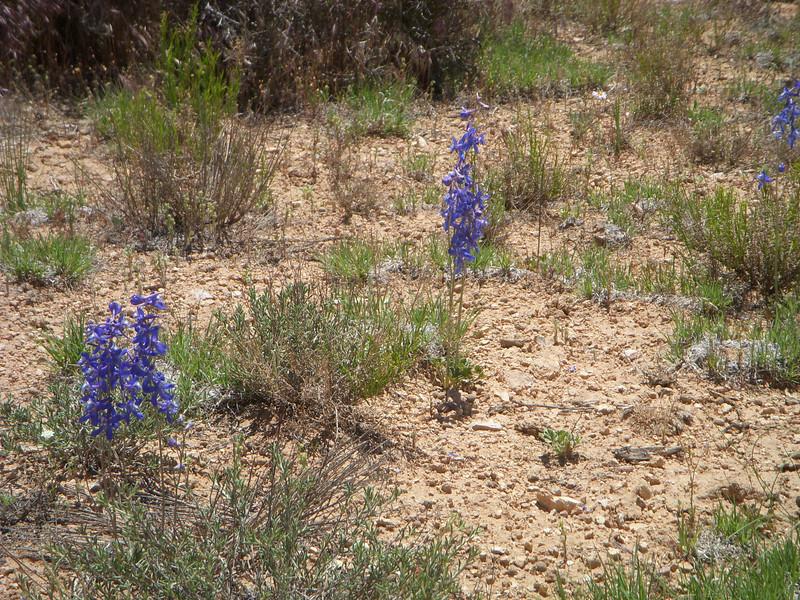 Anderson's larkspur - Delphinium andersonii (DEAN)