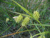 Bottlebrush sedge - Carex hystericina (CAHY4)