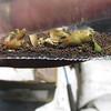 coyote tobacco - Nicotiana attenuata (NIAT)