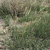James' galleta - Pleuraphis jamesii  (PLJA)