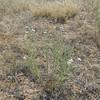 hoary tansyaster - Machaeranthera canescens var. aristata (MACAA2)