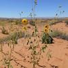 Western sunflower - Helianthus anomalus (HEAN4)