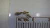 redroot buckwheat - Eriogonum racemosum (ERRA3)