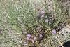 hoary tansyaster - Machaeranthera canescens (MACAC3)