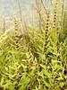 Rough bugleweed - Lycopus asper (LYAS)