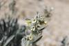 oilshale cryptantha - Cryptantha barnebyi (CRBA6)