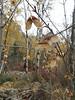 Rocky Mountain maple - Acer glabrum (ACGL)