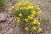 Rock goldenrod - Petradoria pumila (PEPU7)