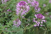 Rocky Mountain beeplant - Cleome serrulata (CLSE)