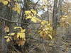 Rocky Mountain maple - Acer glabrum (ACGL)
