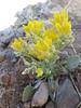 sharpleaf twinpod - Physaria acutifolia (PHAC4)