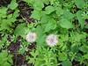 Heartleaf arnica - Arnica cordifolia (ARCO9)