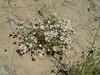 Showy Townsend daisy - Townsendia florifer (TOFL5)