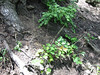 Smallflower miterwort - Mitella stauropetala (MIST3)
