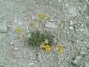 Arizona four-nerve daisy - Tetraneuris acaulis var. arizonica (TEACA)