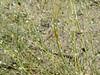 Indian ricegrass - Achnatherum hymenoides (ACHY) at Johnson Pass, UT.