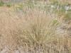 Fendler threeawn - Aristida purpurea var. longiseta (ARPUL)