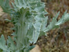 Wavyleaf thistle - Cirsium undulatum (CIUN)
