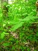 Sweetcicely - Osmorhiza berteroi (OSBE)