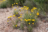 Arizona four-nerve daisy - Tetraneuris acaulis var. arizonica (TEACA)