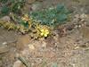 King's flax - Linum kingii (LIKI2)