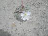 Tufted evening primrose - Oenothera caespitosa (OECA10)