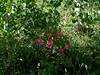Nootka rose - Rosa nutkana (RONU)