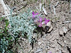 Utah milkvetch - Astragalus utahensis (ASUT)