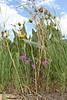 Twincrest onion - Allium bisceptrum (ALBI2)