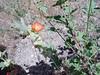 Munro's globemallow - Sphaeralcea munroana (SPMU2)