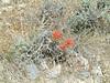 Northwestern Indian paintbrush - Castilleja angustifolia var. dubia (CAAND)