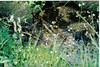 Brook saxifrage - Saxifraga odontoloma (SADO2)