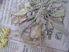Sharpleaf twinpod - Physaria acutifolia var. acutifolia (PHACA)