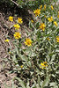 Oneflower helianthella - Helianthella uniflora (HEUN)