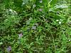Diamond clarkia - Clarkia rhomboidea (CLRH)