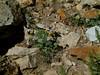 Wyoming Townsend daisy - Townsendia alpigena var. alpigena (TOALA)